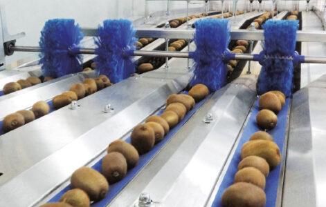 kiwi sorting line