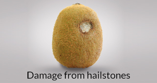 Kiwi defect: damage from hailstones